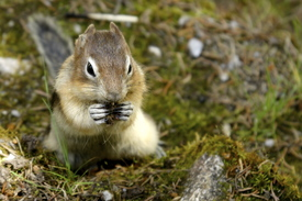 Ground Squirrel/9526234