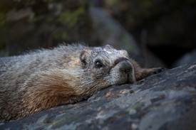 Yellow Bellied Marmot/9880546