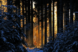 Goldener Winterwald/9898922