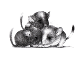 Drei Chinchillas/10789093