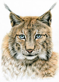 Der Luchs - The Lynx/11092453