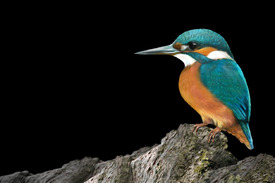 KINGFISHER/11466062