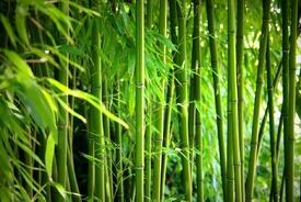 Bambus /9826870