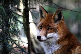 Der lauernde Fuchs../10045339