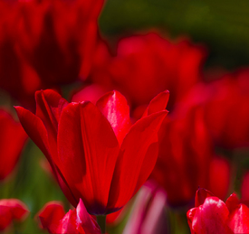 TULIPS in Love/10084665