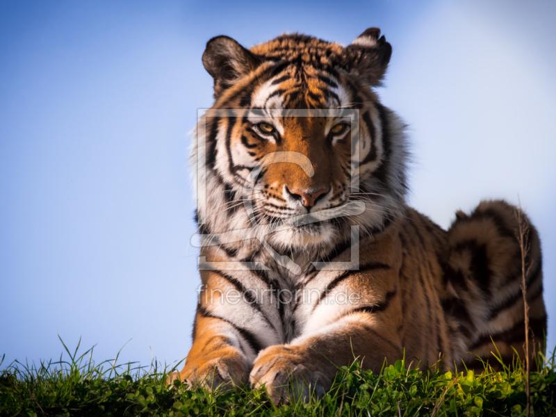 Sibirischer Tiger als Fensterfolie perfekt gedruckt 11740...